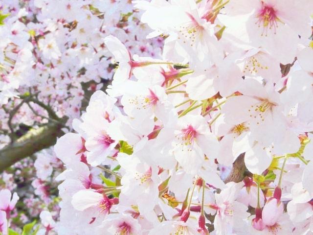 新生活を彩る桜